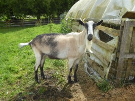 French Alpine goat... this breed will be my future pack goat :)