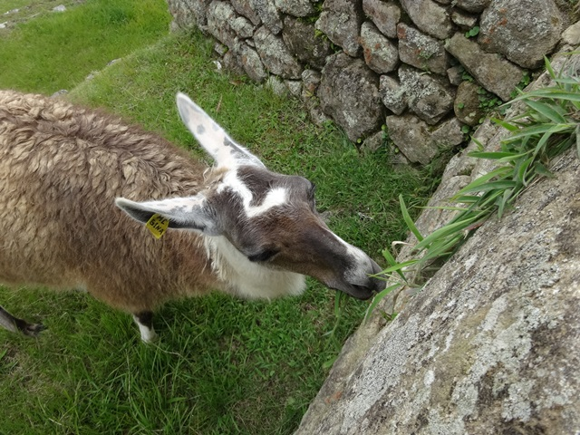 Llama eating in Machu Picchu, Peru, Blue Sky and Wine