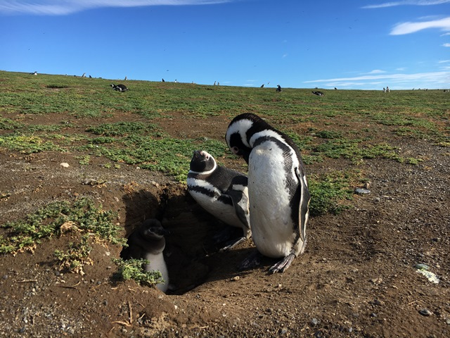 Penguins in Magdalena Island, Punta Arenas, Chile