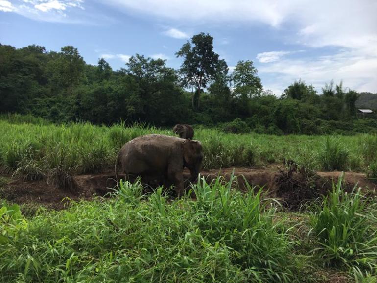 泰国清迈,与大象丛林散步