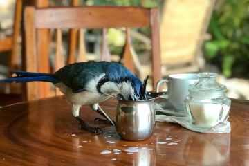 Blue Sky and Wine, Bird Stealing Milk