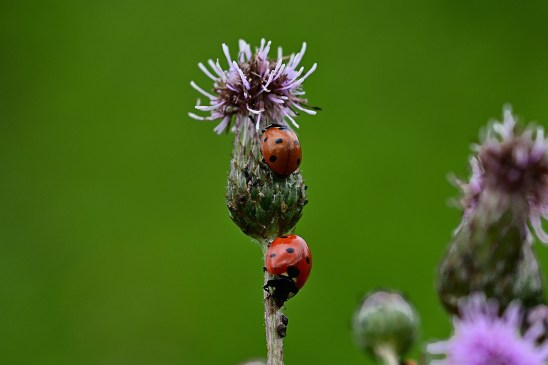 Ladybugs eating aphids on the stem of a purple plant; highlighting the mutually beneficial relationship between plant and ladybug