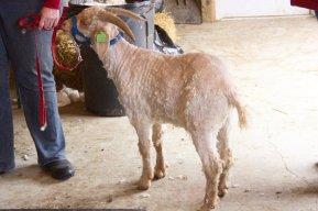 IMG_3340.Angora Goat