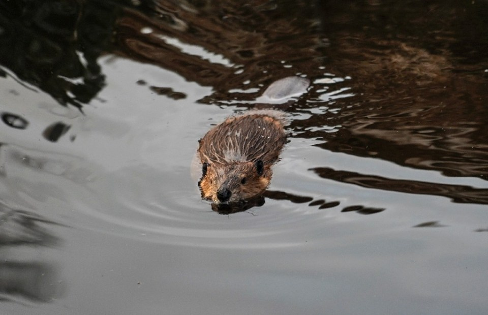 """Beavers have been described as """"nature's engineers"""", whose work can help create wetland habitats to support a range of species from insects to wildfowl - PABLO COZZAGLIO / ©AFP"""