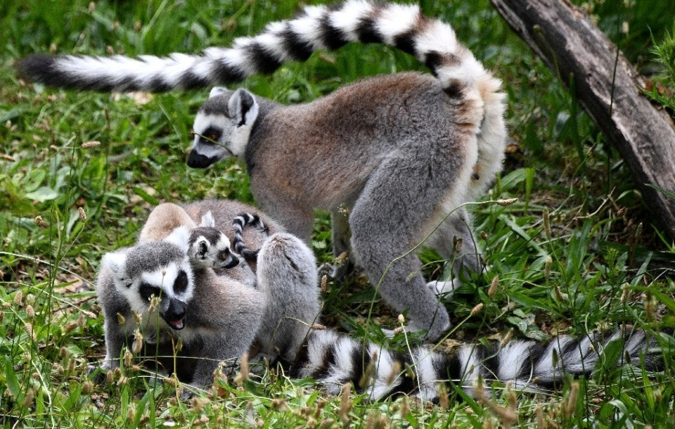 Many Madagascan species are under threat, like these ring-tailed lemurs in a Paris zoo - FRANCK FIFE / ©AFP