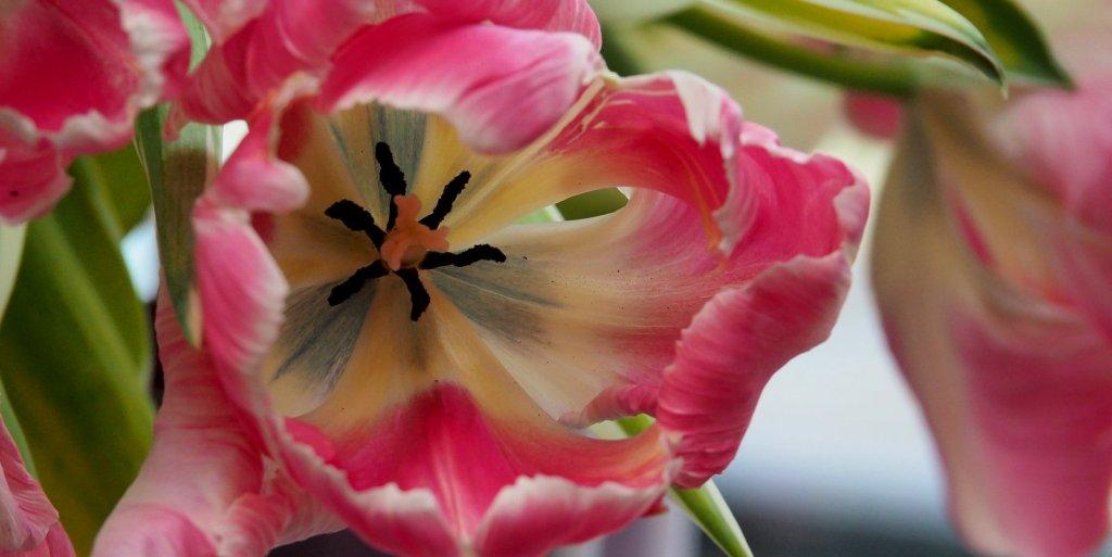Hommage an die Tulpe Elsenburg