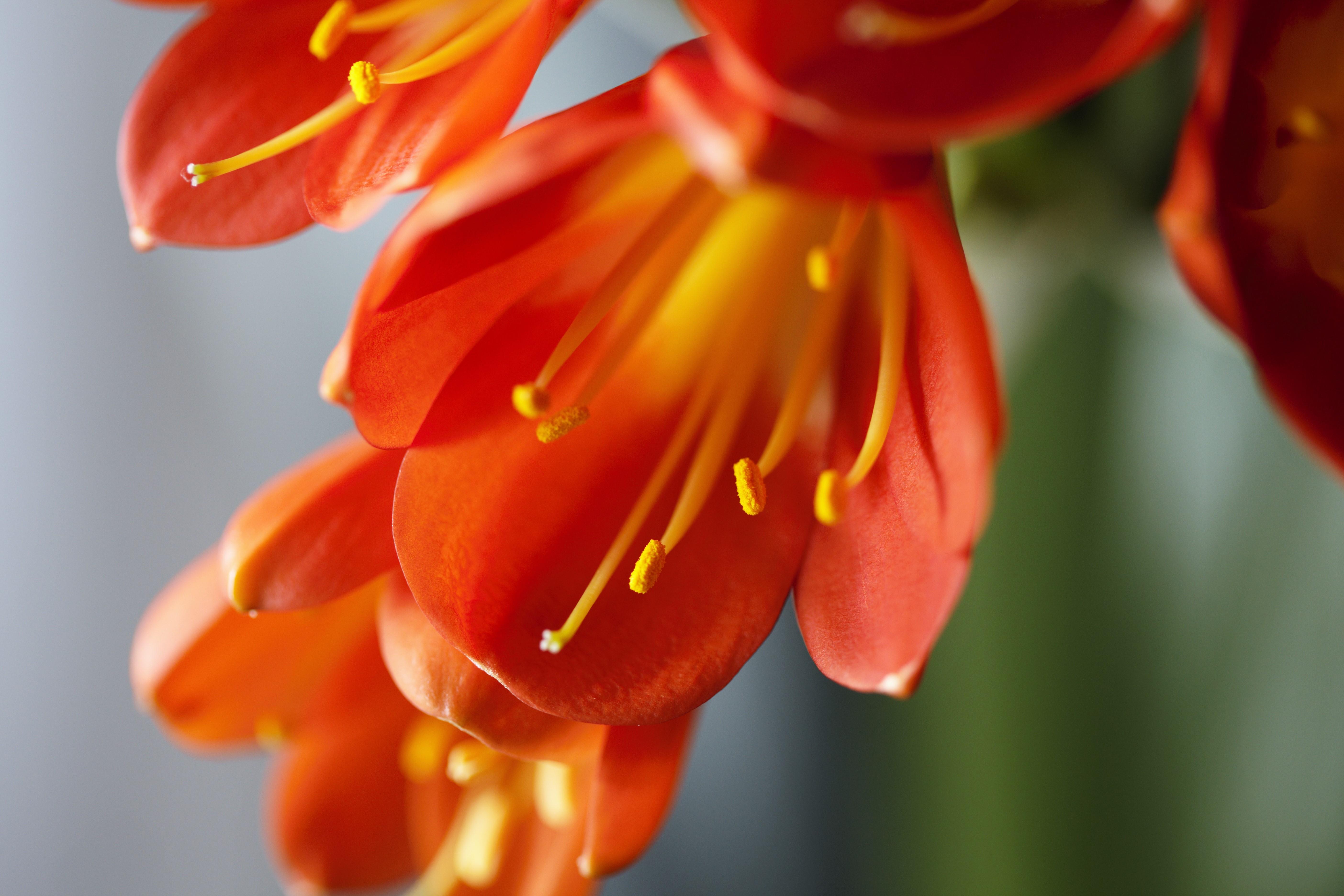 Das Riemenblatt Oder Klivie Rotorangene Blutenpracht Aus Sudafrika Pflanzenblog