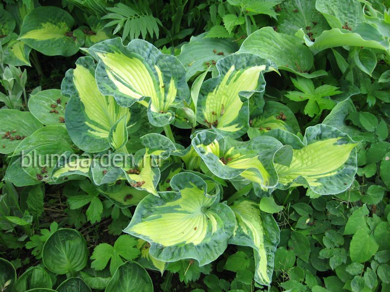 Хоста «Голден Медоуз» (Hosta Golden Meadows) © blumgarden.ru