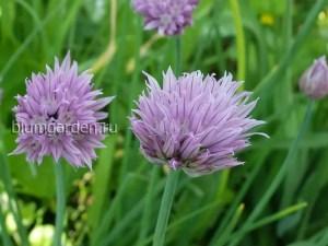 Декоративный и съедобный Шнитт-лук (Allium schoenoprasum) © blumgarden.ru