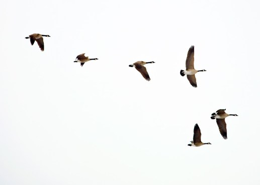 Honkers - Geese in formation | Blurbomat.com