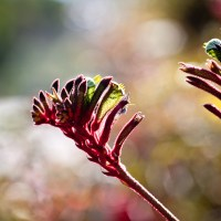 Red Furry Plants - Laguna Beach | Blurbomat.com