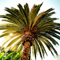 The Tree Accommodates - Laguna Beach Palm Tree | Blurbomat.com