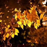Golden Leaf Day | Blurbomat.com