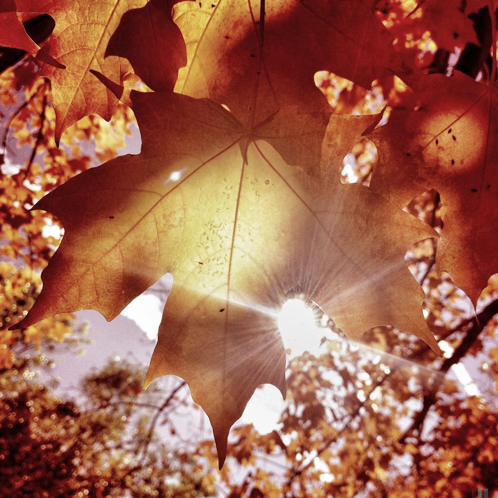 Sun Flared Leaves