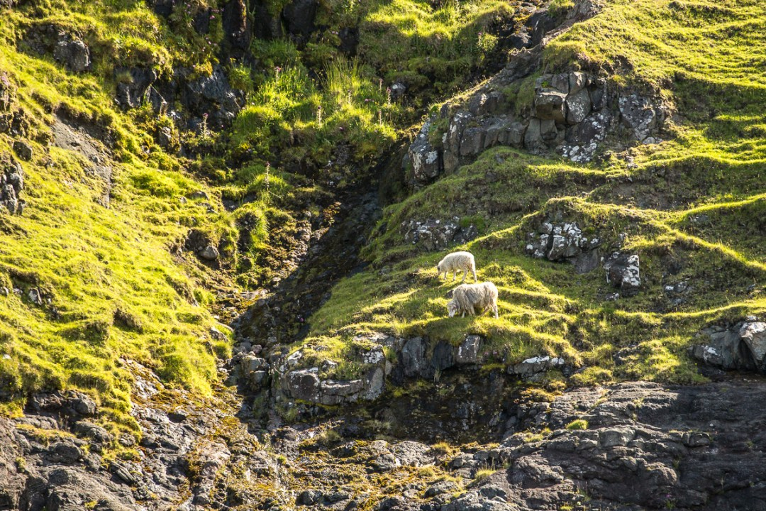 Sheep grazing on a slope near Vestmanna, Faroe Islands - Blurbomat.com
