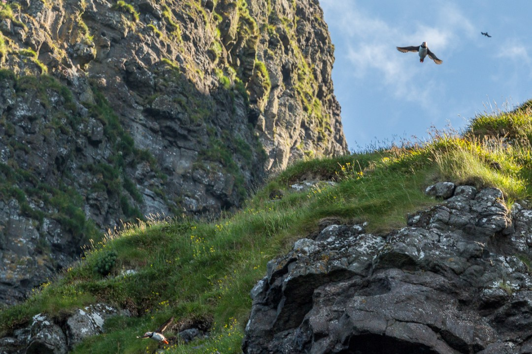 A group of puffins take flight, bird cliffs near Vestmanna, Faroe Islands - Blurbomat.com