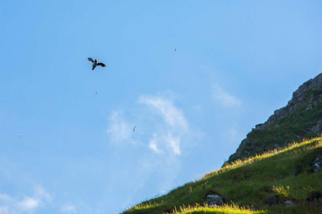 A puffin in flight Bird cliffs near Vestmanna, Faroe Islands - Blurbomat.com