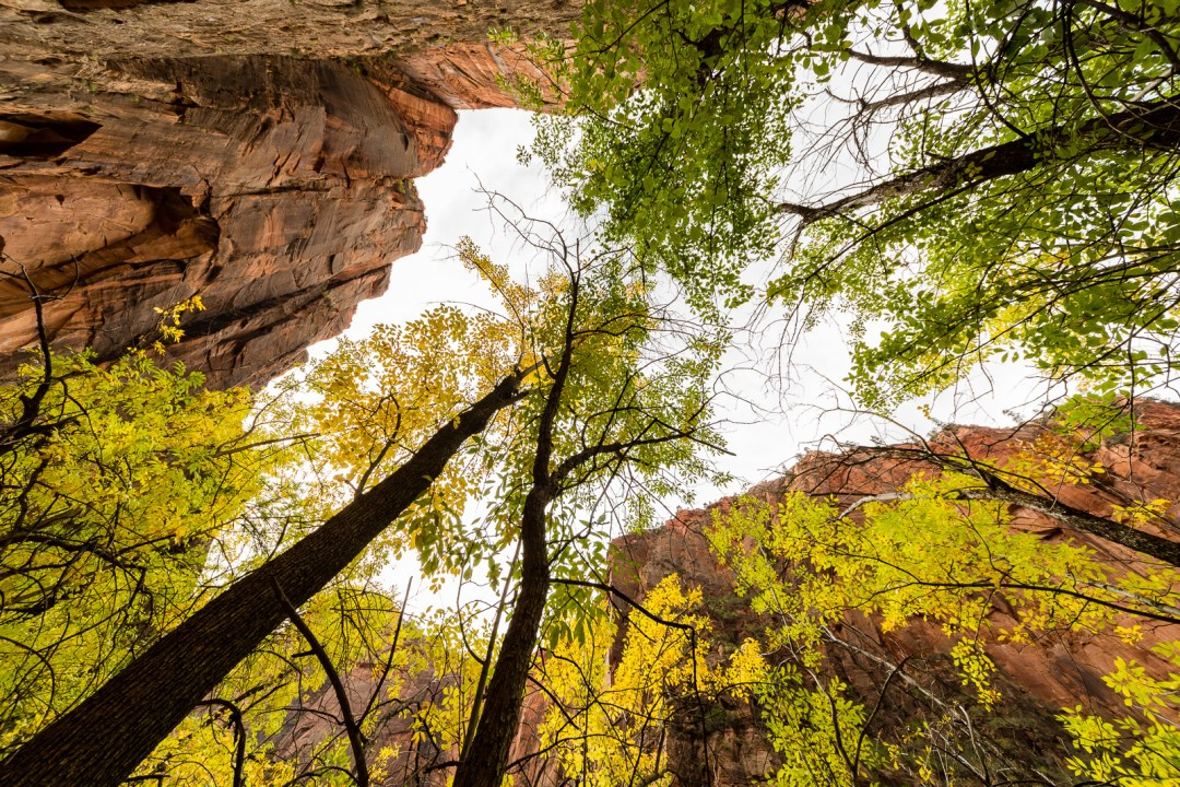 Looking up through autumnal trees in Zion National Park