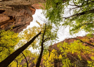 Looking up through autumnal trees in Zion National Park   Blurbomat.com