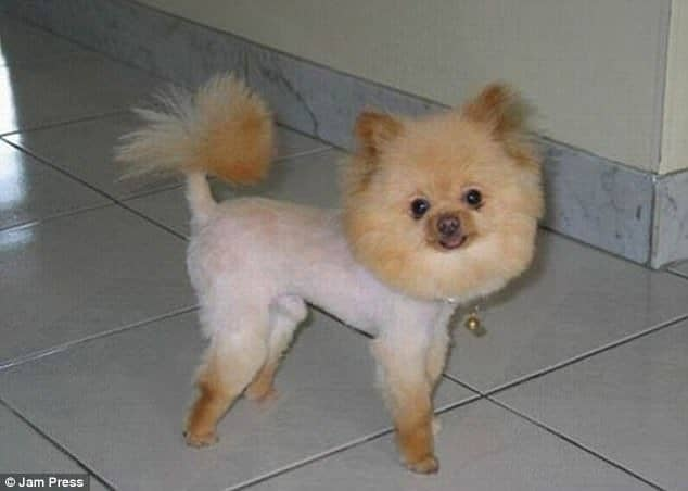 Lawn Owners Are Proud To Show The Craziest Haircuts Of Their Dogs 3