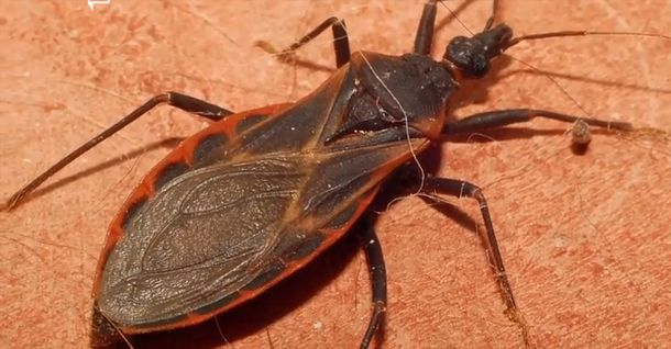 Be Aware Of The Tiny Kissing Bugs Killing Dogs And Children 4