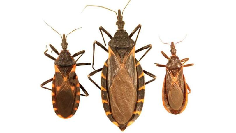 Be Aware Of The Tiny Kissing Bugs Killing Dogs And Children 6