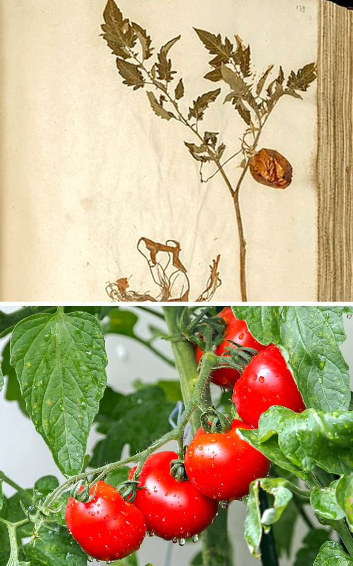 7 Best Examples Of Vegetables In The Ancient Time And Their Evolution Till Today 8