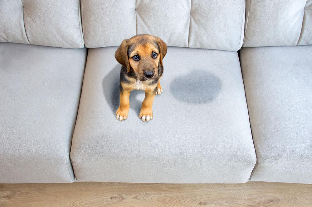 pranie kanapy usuwanie plam przykrych zapachów po psie