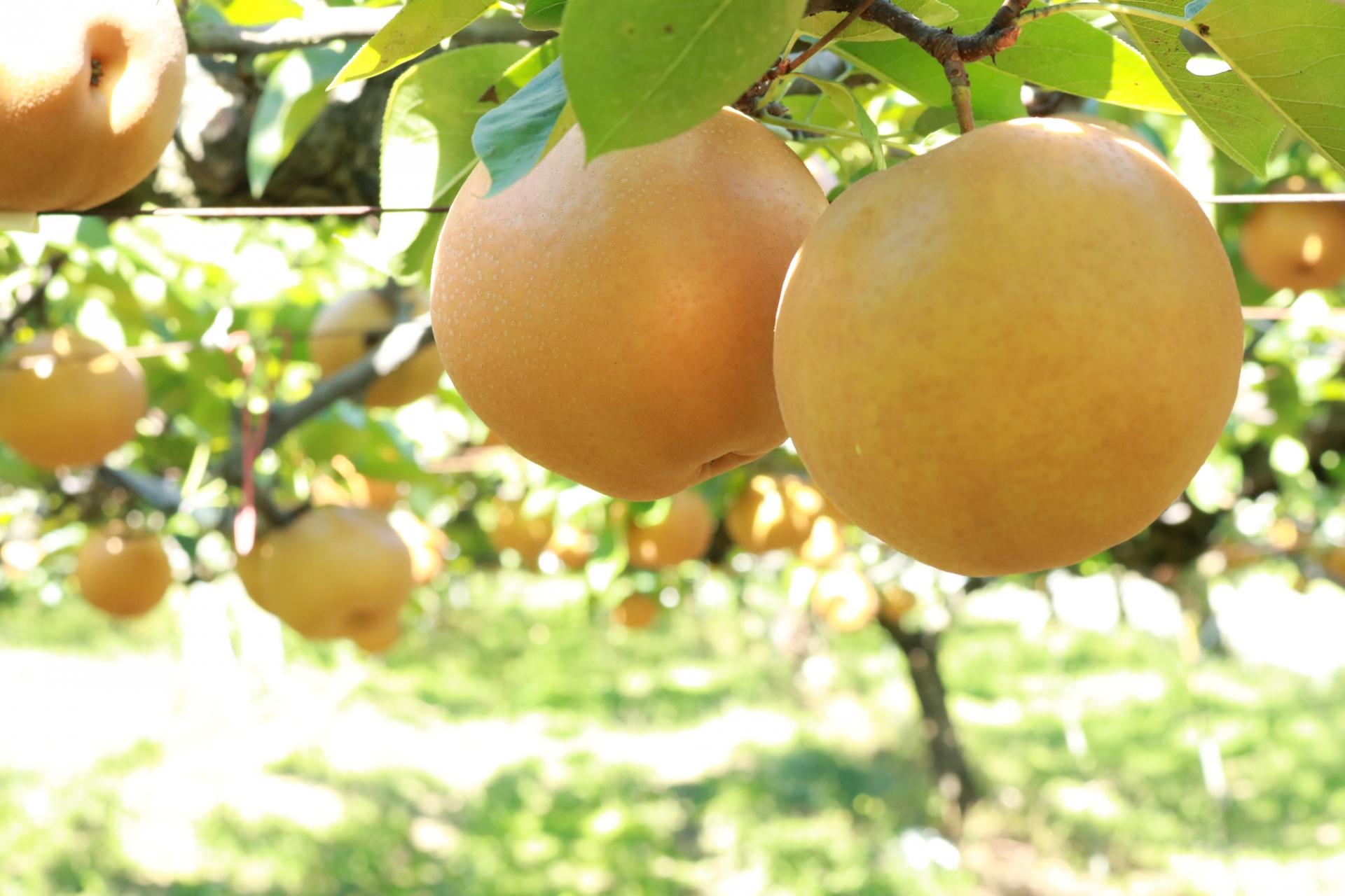 梨の名産地千葉の美味しい梨を種類別に食べ較べて全力おすすめしてみた。