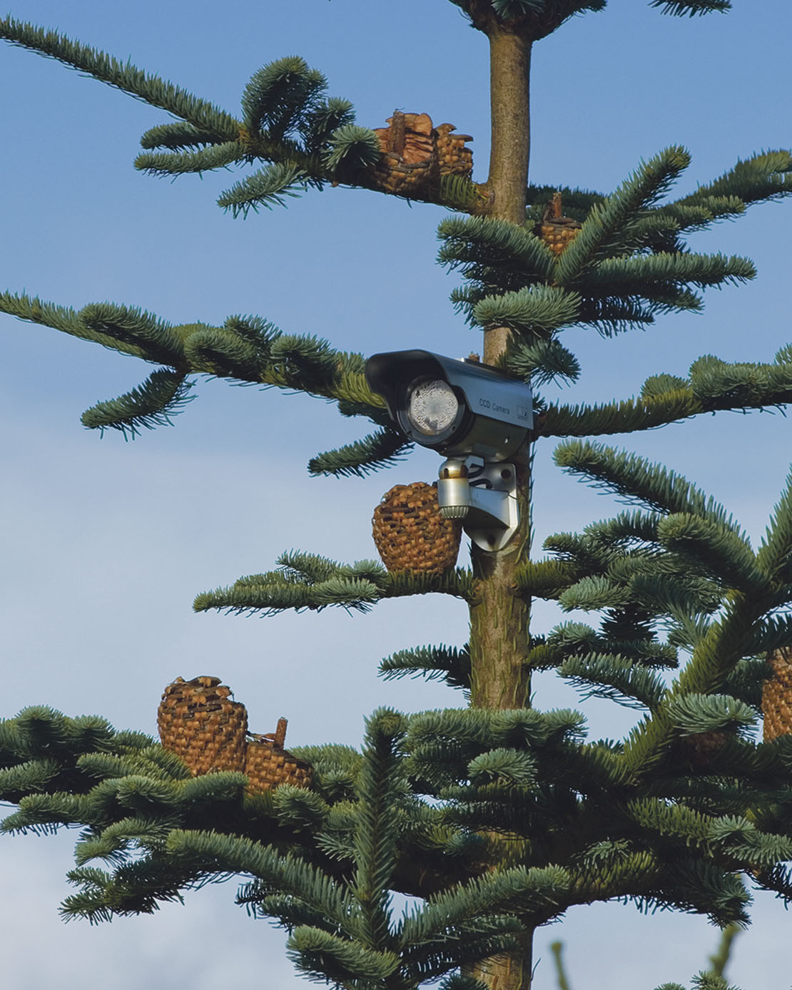Which Christmas Tree Holds Needles Longest