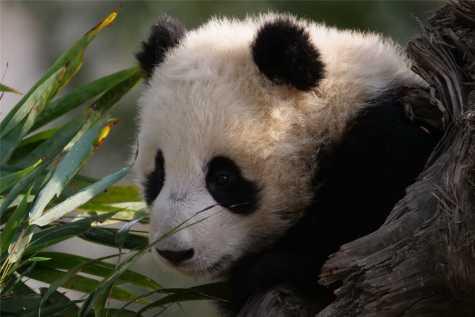 Brimmer the Panda.
