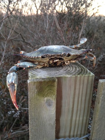 Getting crabby! A poor Blue Crab that perished in the snowstorm last week.