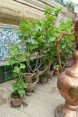 Fig trees outside Mosque in Kashgar, China
