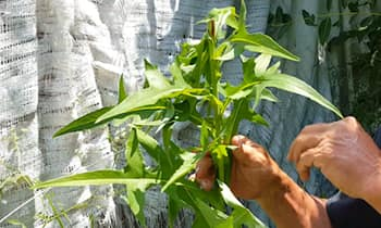 """Латук дикий, или «дикий салат» - """"забытое"""" лекарственное растение, которое должно расти на каждом заднем дворе."""
