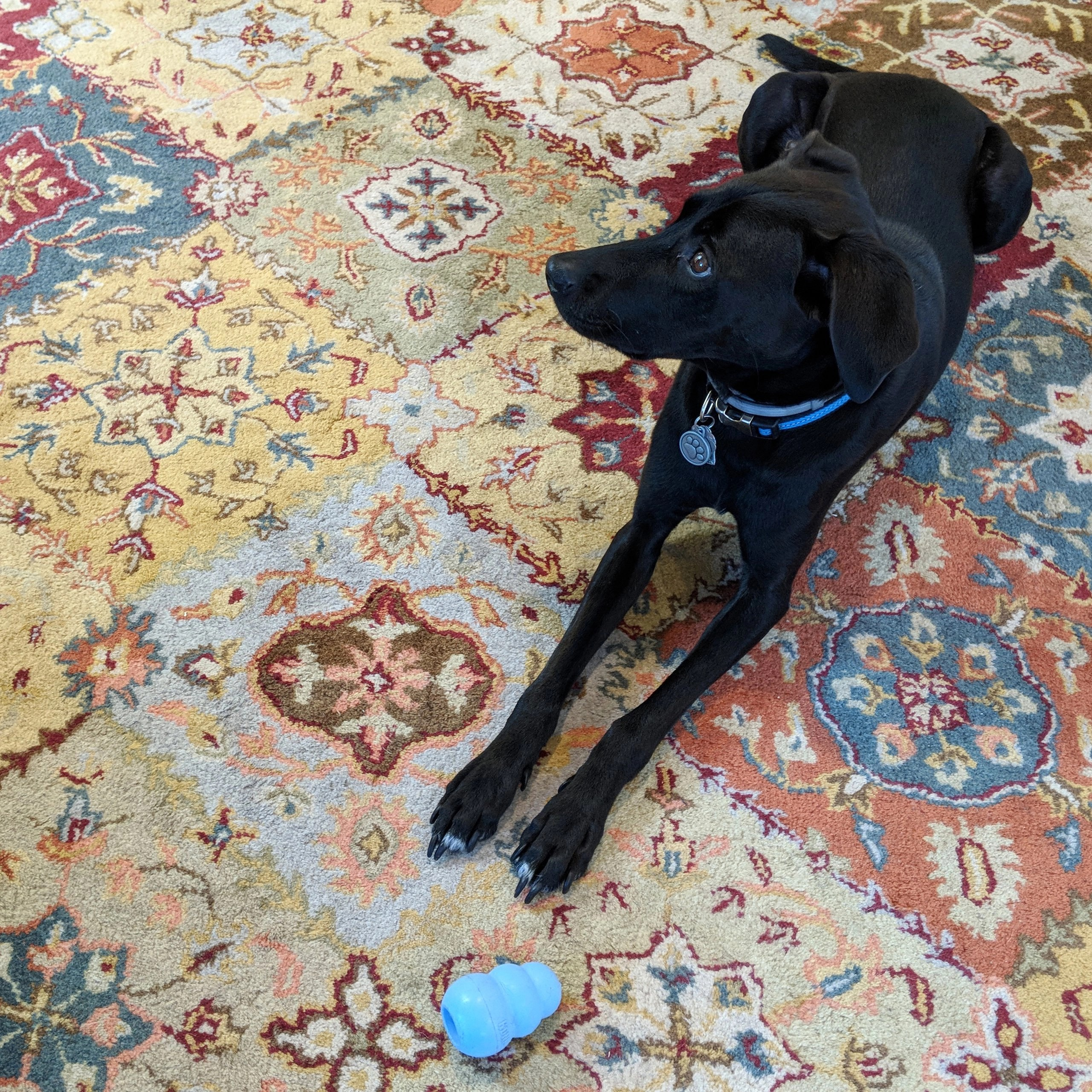 Odin relaxes on a plush rug with his Kong toy