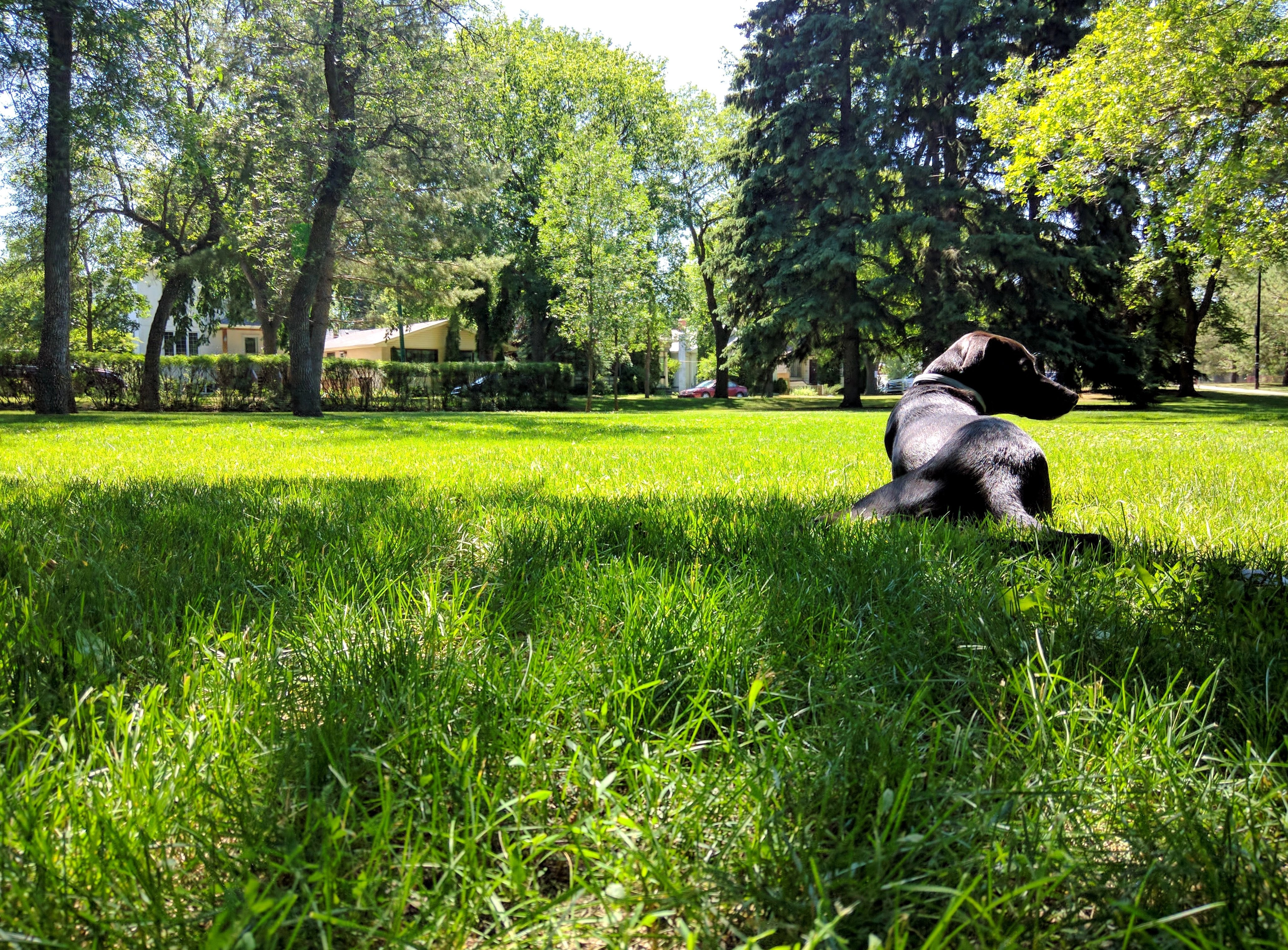 Odin relaxes in the green grass of a Saskatoon park