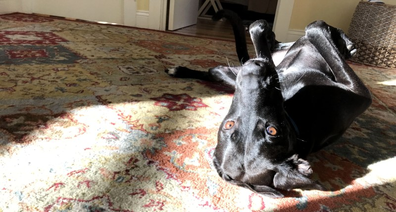 our dog Odin rolling upside down on a rug