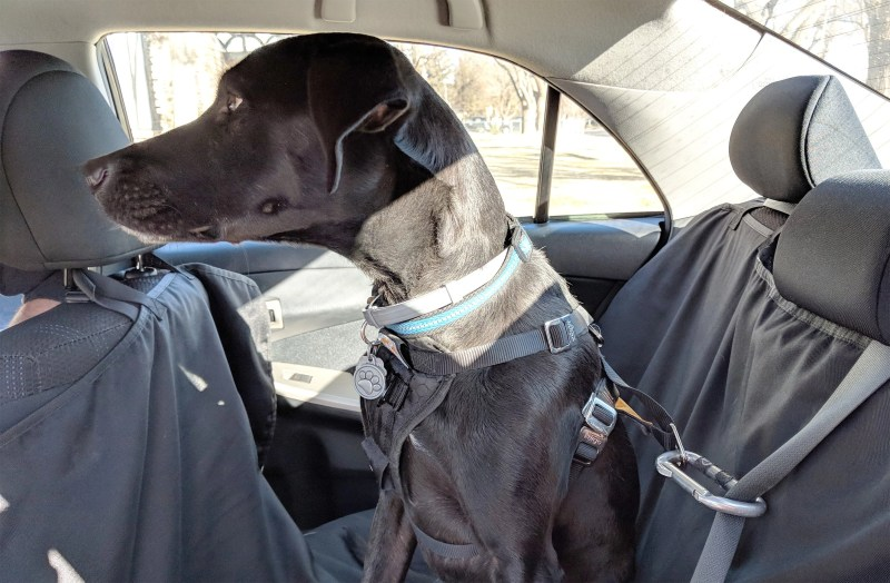 Odin buckled up to the seat belt using a carabiner