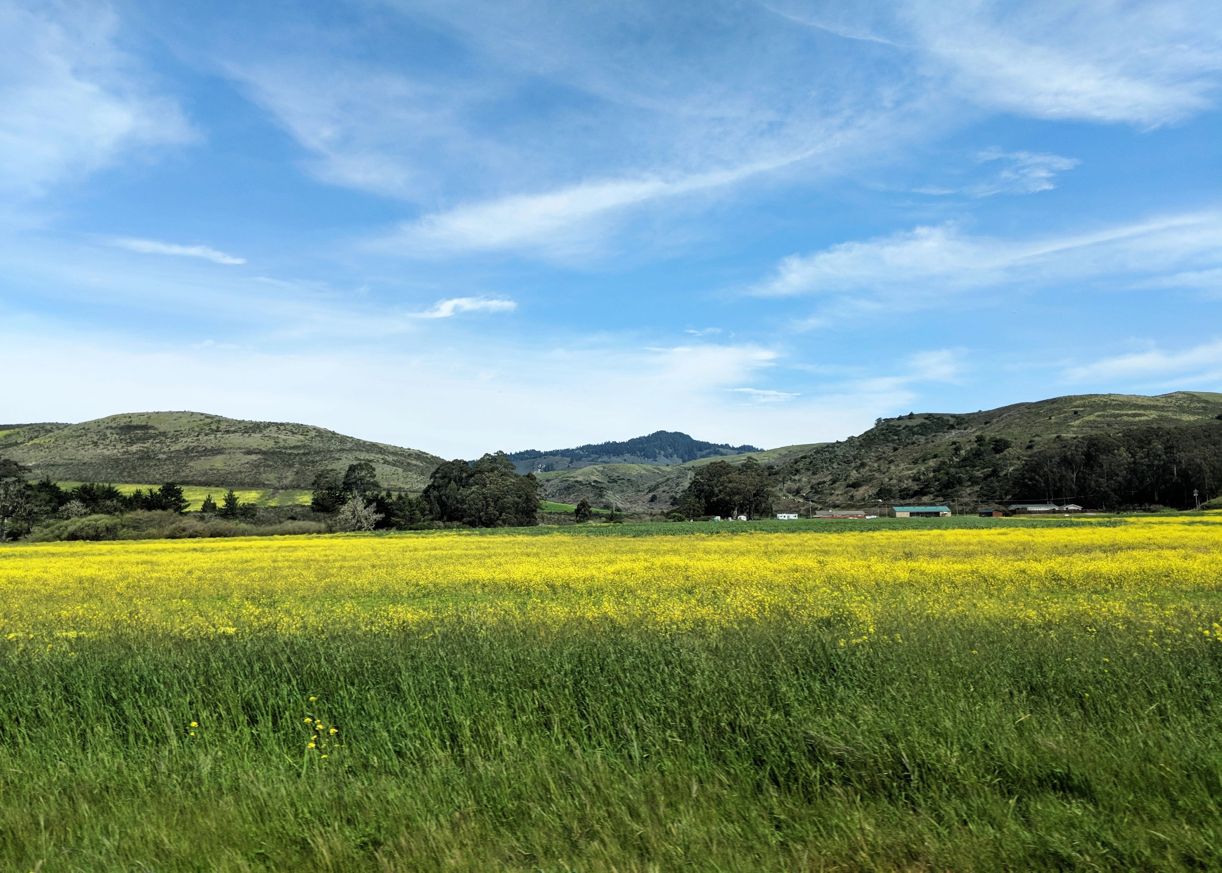 bright yellow field off California Highway 1