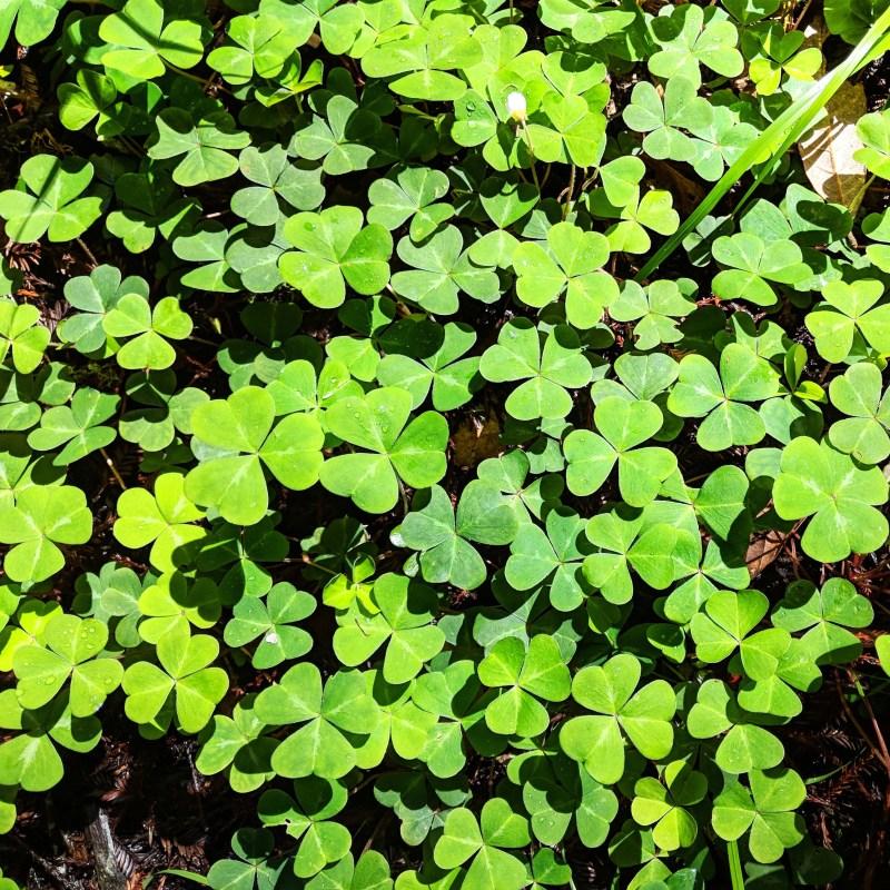 clovers on the floor of Muir woods
