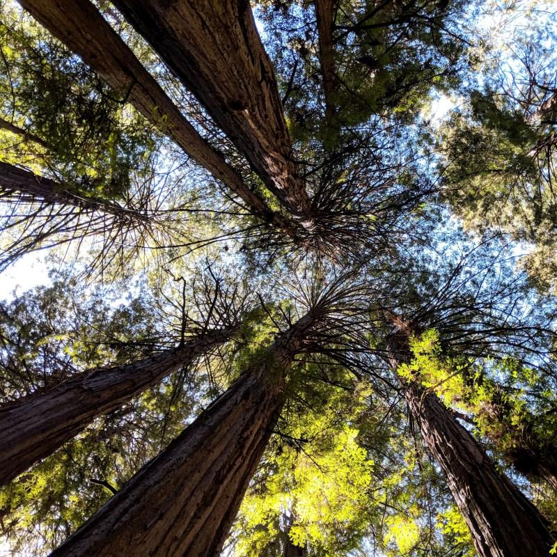 looking up in Muir Woods
