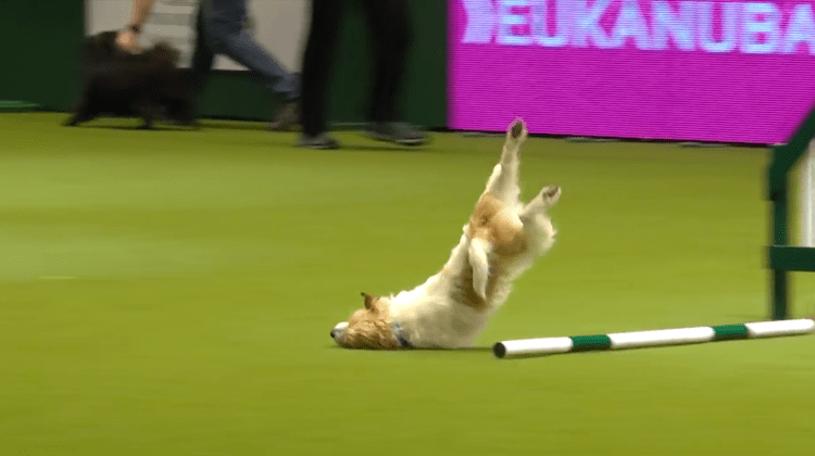 Hilarious Jack Russell Goes Crazy with Excitement at Crufts 2017! – YouTube