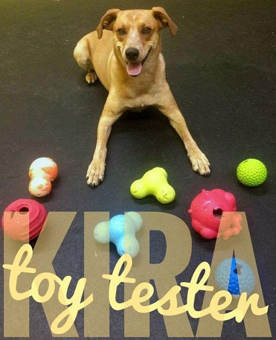 Kira is one of many daily toy tester we have that visit our daycare during the week. We have found some great, durable toys from companies such as WestPaw, Jolly Pet, Jw Pet, Rogz, and more.Come in and ask our staff for more info.Photo via Ashley M@ashleymain_ #barksnrecbc #bnrbc #dog #dogdaycare #instadog #dogsofig #dogsofinstagram #trailbc #bc #canada #kootenays #kootenaydog #dogwalk #cute #dogsmile #ilovemydog #pet #petservices #petstore #welovedogs #weloveanimals #westpaw #rogz #jwpet #jollypet #kira
