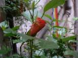 kwiat hibiskusa delikatnie opleciony świeżym pędem jaśminu :-) w tle PACE