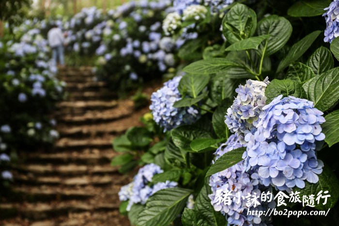 台東。太麻里》金針山青山農場季節限定的繡球花海(201906花況)