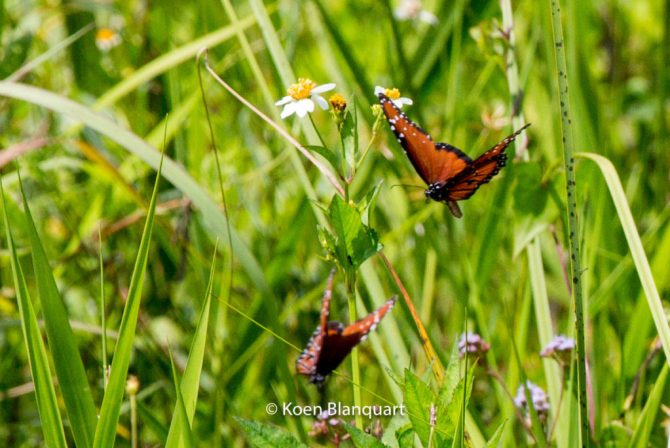 Butterflies in the Everglades