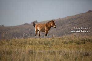 Khustain Nuruu National Park - Prezwalski horse