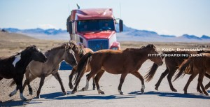 wild horses in Mongolia crossing the road