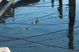 gilleleje denmark seeland coast ducks blue