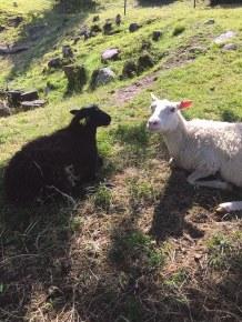ven sheep
